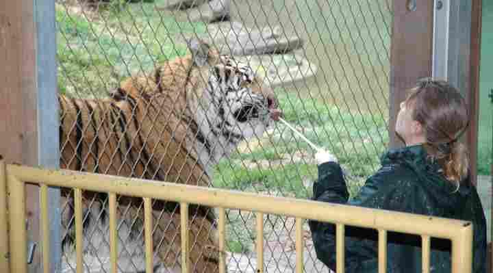 Tiger træning