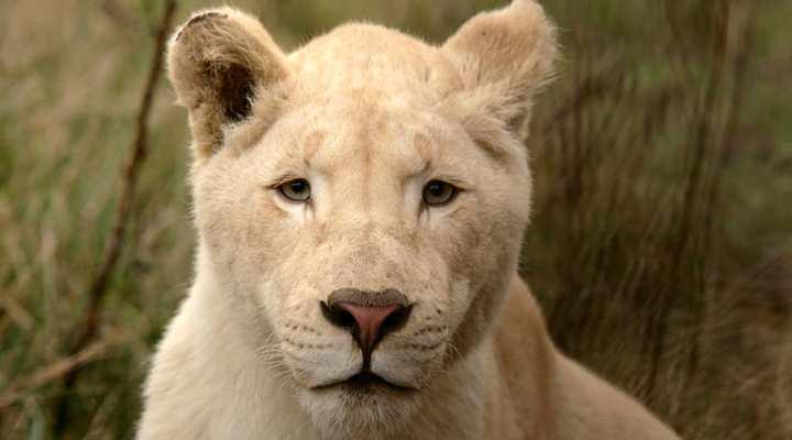 Blåvand Zoo - hvid løve